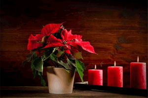 Holiday hazards -- photo of poinsettia plant and lighted candles